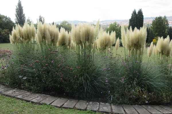 """Pampová tráva (Cortaderia selloana) pochází z argentinských pamp. Kvete právě v období, kdy probíhá podzimní výstava. Patří mezi velmi efektní trávy. Dlužno dodat, že její pěstování nepatří k zcela jednoduchým. Prvním háčkem je výběr správné rostliny. To, co vidíme na fotografii, je výběr nejlepších rostlin. """"Obyčejná"""" kortadérie může mít květenství řídké a zcela vůbec ne efektní. Z toho plyne nutnost množit tyto rostliny vegetativně, tedy dělením. Rostliny množené osivem kvetou buď pozdě, vůbec, nebo ne zcela vzhledně.   Tajemství zazimování je jednoduché. Tato tráva nemá ráda mokrou zimu. Je třeba ji tedy přikrýt tak, aby se k ní nedostala voda."""