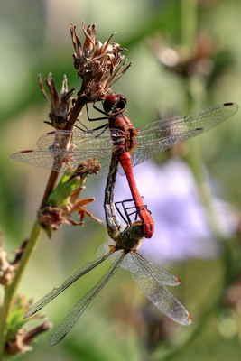 Vážka rudá. Poznáte samečka - samičku?