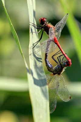 Samička (či tandem) prolétá nízkou zamokřenou vegetací nebo nad mělčinami a odhazuje za letu jednotlivá vajíčka.