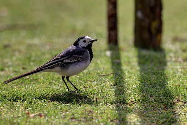Předešlé vážky chutnají tomuto zpěvnému ptáčkovi, konipasovi bílému.