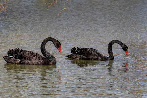 Labuť černá, původem z jihozápadní a východní Austrálie. K nám se labuť černá dovezla jako ozdobný pták chovaný na parkových jezírcích.