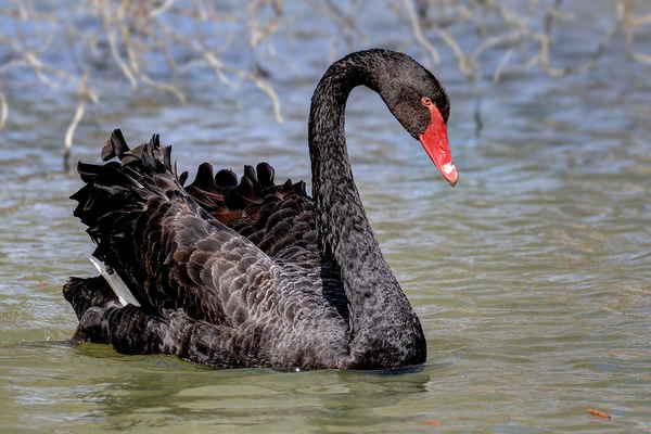 Postupem času se podařilo některým labutím z těchto chovů uniknout a vytvořit menší populace ve volné přírodě.