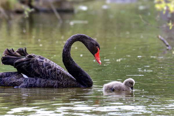 Doprovází své miminko a v širokém okolí ostatní živočichy odežene.