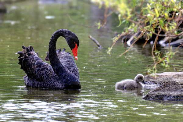 Na vodě nepoznám, zda je to hrdá maminka nebo tatínek. V sezení na nevylíhnutých vejcích se střídají.