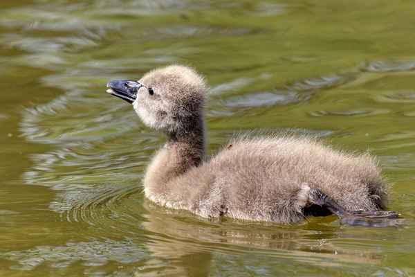 Labutě, když se i krátkou dobu nevidí (druhá sedí na hnízdě), po setkání se hlasitě vítají a kývají krky. A děti vše opakují po rodičích.