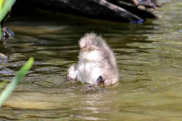 Přemýšlíte, co to je? Hlavička hledá pod vodou vodní rostliny, kterými se živí, a zadeček je jako bójka nad hladinou.
