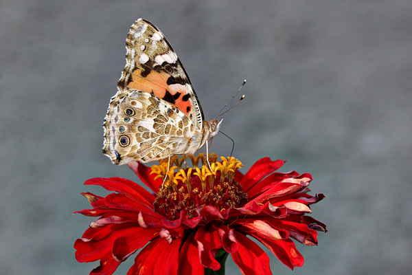 Rád fotím tyto motýli, mají krásnou kresbu i na spodní straně křídel.