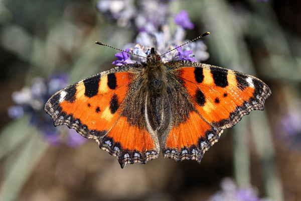 Kresbu na spodní straně křídel všechny druhy motýlů nemají, například babočka kopřivová …