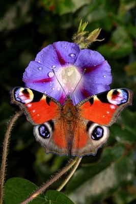U tohoto nádherného motýla musíme počkat na roztáhnutí křídel a někdy se i dlouho načekáme.