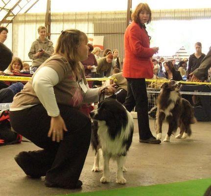 Psi mezitřída - Diplomat Z Bengasu V2,res.CAC a Cooper Blue Bohemia Alké V1,CAC