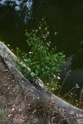 břízka vyrůstající z malého otvoru v betonu